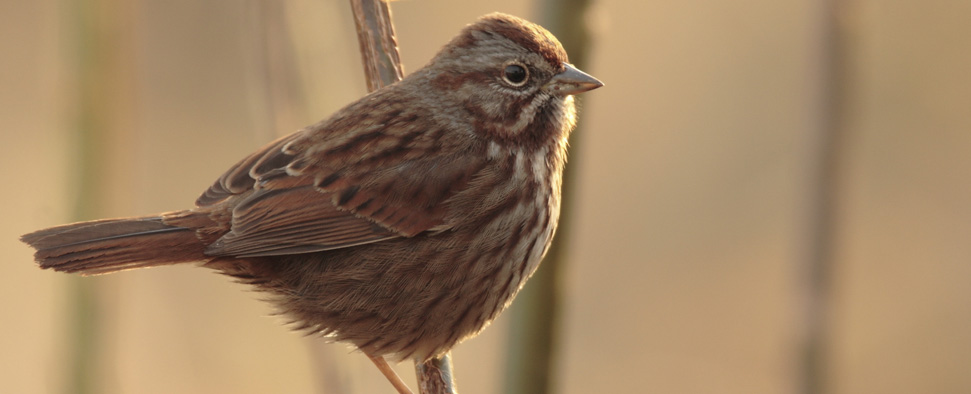 Song Sparrow at Jackson Bottom Wetlands Preserve in Hillsboro, Oregon<br/>-- Michael Thompson