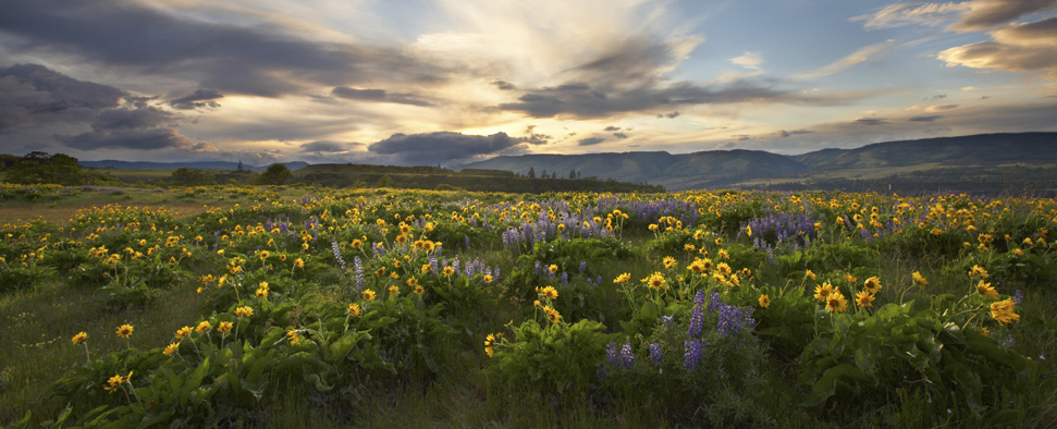 Wild balsam root and lupine at sunset somewhere in the Columbia River Gorge<br/>-- Zack Schnepf