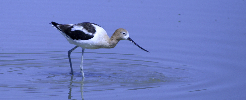American Avocet dipping for food in a tidal marsh in Oregon<br/>-- Erik Gauger