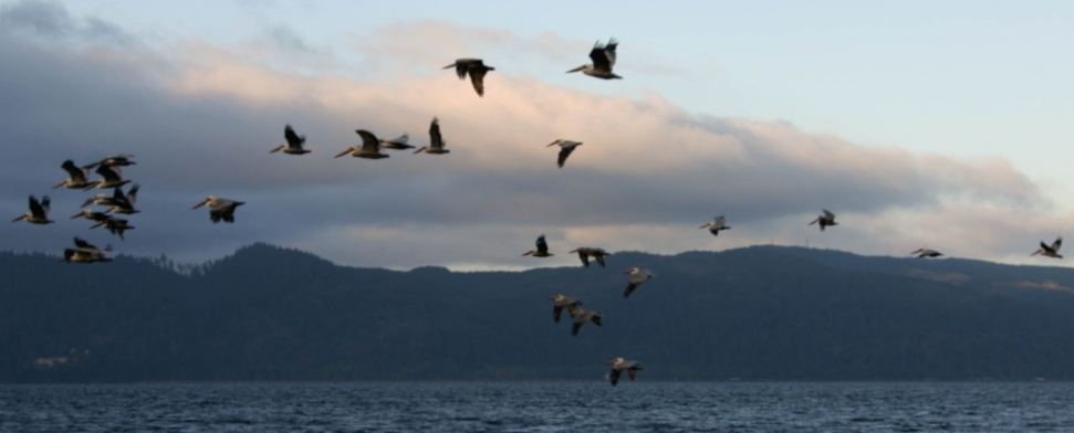 Pelicans over Young's Bay in Astoria<br/>-- Dal Marsters