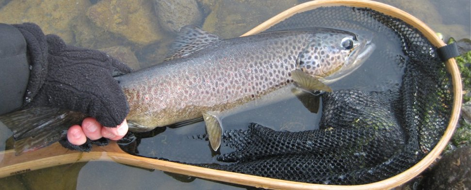 Handful of brown trout, Owyhee River, Feb 2011<br/>-- Kevin Hurst