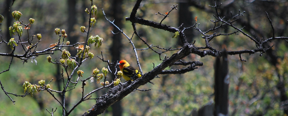Western Tanager on Bickleton Ridge a litte north of the columbia River in Washington<br/>-- Matt Deniston