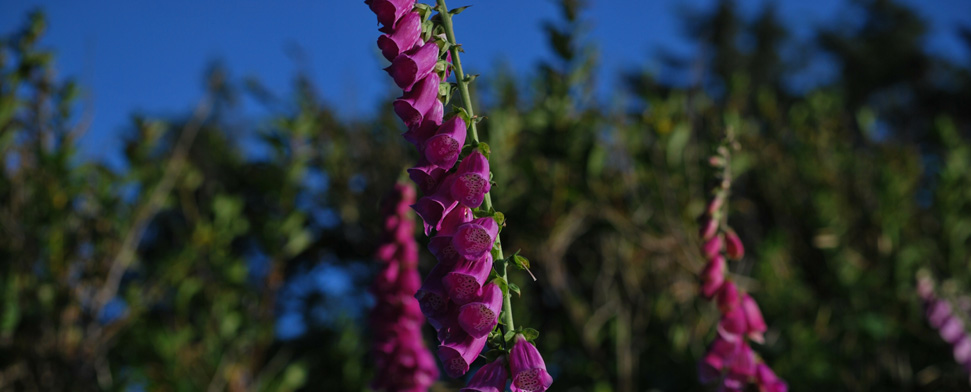 Wild foxglove at Cape Disappointment at the mouth of the Columbia River<br/>-- Matt Deniston